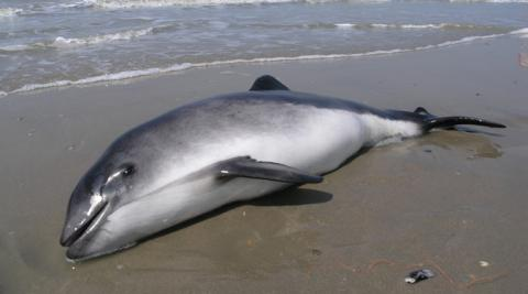 Harbour porpoise stranded on the beach®OD Natural Environment