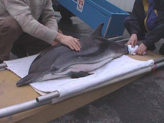 BMM- Dolfijn